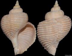 Beringius eyerdami (Canada, 108,3mm)