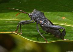 Dock bug (Coreidae sp.), Sahafina, Madagascar