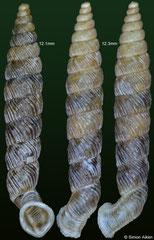 Gyraxis samana (Dominican Republic, 12,1, 12,3mm)