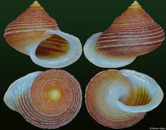 Eutrochatella cavearum (Jamaica, 9,9mm)