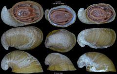 Lepetodrilus fucensis (Juan de Fuca Ridge, 9,9, 7,3, 8,9mm)