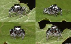 Jumping spider (Salticidae sp.), Olango Island, Philippines