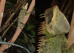 Cardomom mountain horned lizard (Acanthosaura cardamomensis), Bokor Mountain, Cambodia