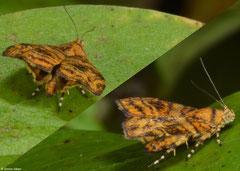 Metalmark moth (Choreutidae sp.), Kampot, Cambodia