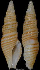 Otitoma aureolineata (Philippines, 15,5mm)