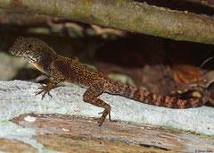 Lizard (Squamata sp.), Guantánamo Province, Cuba