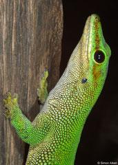 Madagascar day gecko (Phelsuma madagascariensis), Sahafina, Madagascar