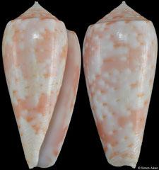 Conus timorensis (Mauritius, 34,2mm)