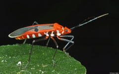 Cotton stainer (Dysdercus sp.), Samal Island, Philippines