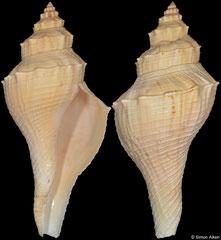 Hemifusus boucheti (Vietnam, 159mm)