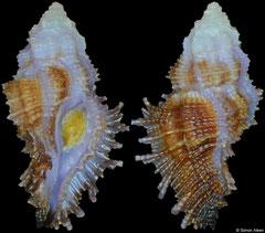 Pterynotus barclayanus (Philippines, 19,6mm)