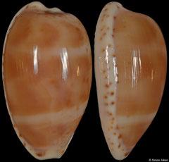 Cypraea piperita form 'bicolor' (Victoria, Australia, 26,2mm)