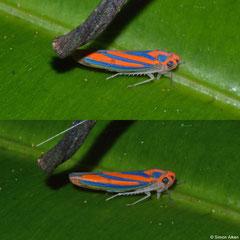 Leafhopper (Graphocephala coccinea), Andasibe, Madagascar