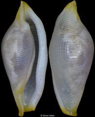 Cuspivolva habui (China, 5,5mm)