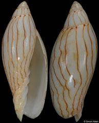Amoria turneri (Queensland, Australia, 64,6mm)
