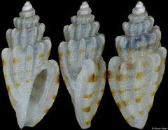 Cythara cf. lamellata (Philippines, 4,1mm)