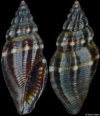 Eucithara cf. monochoria (Philippines, 5,5mm)
