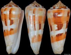 Conus aliwalensis (South Africa, 69,9mm)