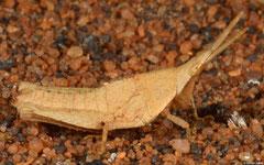 Gaudy grasshopper (Pyrgomorphidae sp.), Ifaty-Mangily, Madagascar