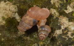 Chondropoma oculeum (N of Pedernales, Dominican Republic)