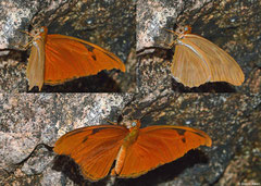 Julia heliconian (Dryas iulia fucatus), Majagual, Dominican Republic