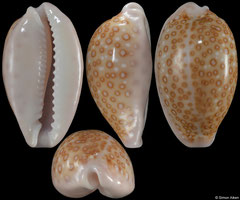 Cypraea albuginosa (Pacific Panama, 19,5mm) F+++ €7.00 (specimens for sale are 17mm+ and are of the same quality as the specimen illustrated)