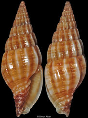 Vexillum leucophryna (Philippines, 15,0mm)