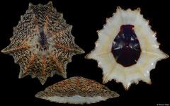 Cymbula granatina (South Africa, 90,0mm)