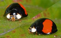 Harlequin ladybird (Harmonia axyridis), Kasi, Vientiane Province, Laos