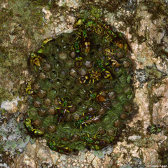 Wasp (Ropalidia sp.) nest, Mantadia, Madagascar