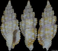 Glyphostoma tigroidellum (Philippines, 5,8mm)