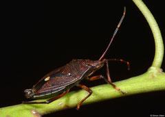 Shield bug (Pentatomidae sp.), Perth, Western Australia