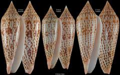 Conus ranonganus (Myanmar, Thailand)