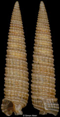 Inella blainvilli (Philippines, 6,7mm)