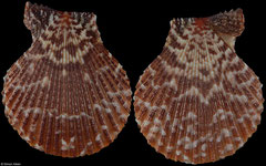 Mimachlamys punctata (Philippines, 38,0mm)