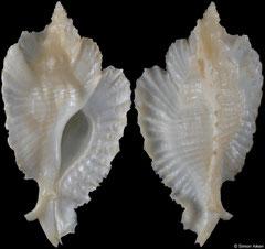 Timbellus bednalli (Northern Territory, Australia, 56,3mm)