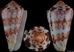 Conus aurisiacus (Philippines, 48,4mm)
