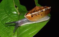 Aegista pseudotrochula (Tham Poukham, Vang Vieng, Ventiane Province, Laos)