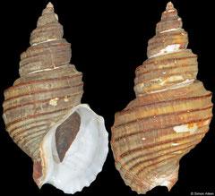 Clinopegma magnum unicum polygramma (Japan, 88,5mm)