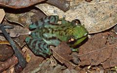 Mantellid frog (Guibemantis cf. pulcher), Andasibe, Madagascar