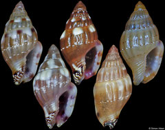 Euplica ionida (Philippines, 5mm)