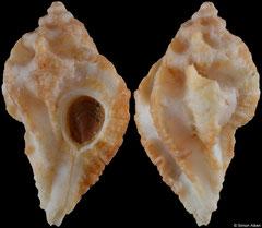 Maxwellia santarosana (California, USA, 27,3mm) F+ €22.00