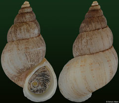 Clydonopoma nobile (Dominican Republic, 31,4mm) F+++ €18.00 (specimens for sale are 30-31mm and are of the same quality as the specimen illustrated)
