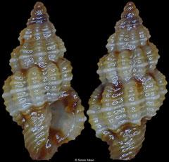 Lienardia sp. (Philippines, 3,9mm)