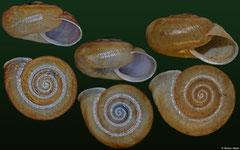 Plagioptycha indistincta (Dominican Republic, 12,2mm, 12,5mm, 13,9mm)