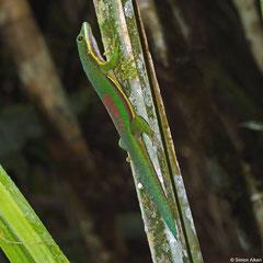Lined day gecko (Phelsuma lineata), Andasibe, Madagascar
