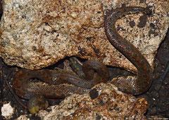 Jamaican boa (Epicrates subflavus), Greater Antilles