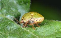 Shield bug (Pentatomoidea sp.) nymph, Ban Naka, Vientiane Province, Laos
