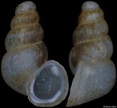 Plagigeyeria pseudocostellina (Bosnia-Herzegovina, 1,9mm) (paratype)