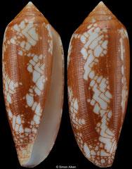 Conus michelcharlesi (Madagascar, 57,9mm)